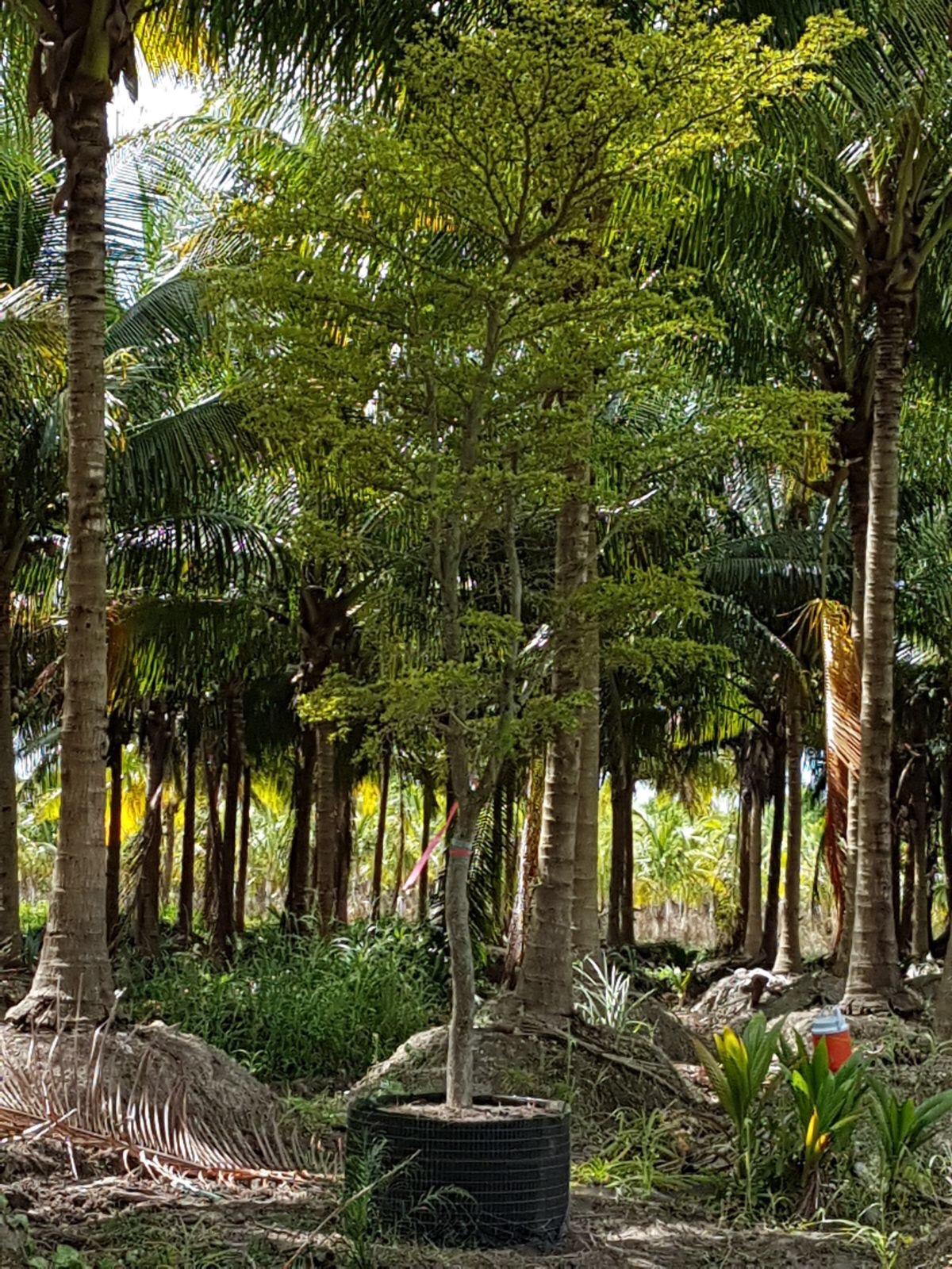 Bucida buceras Tree