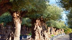 olivträd till projekt utomlands