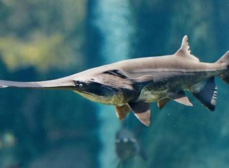 Pez remo gigante chino es la primer especie extinta del 2020
