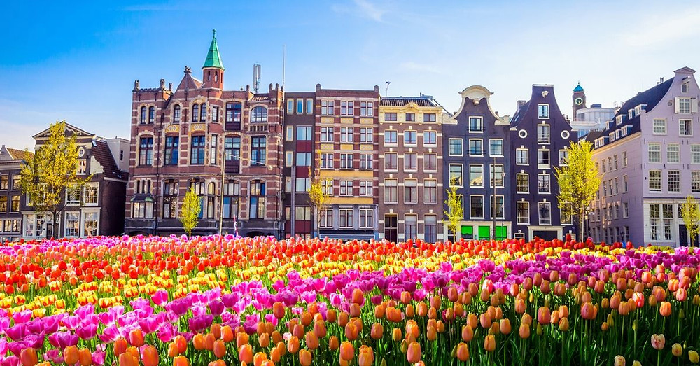 Tulips and Amsterdam city buildings