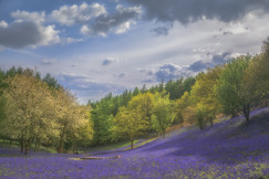 Clent Hills Bluebells No 13