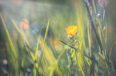 Spring Buttercup 1