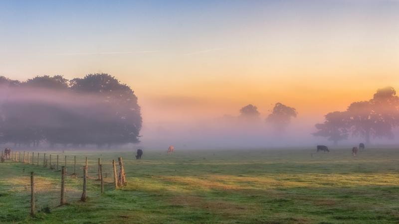 Bovines In The Mist