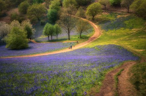 Clent Hills Bluebells No 3
