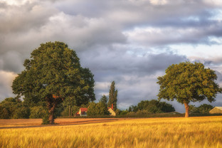 Warwickshire Barley Field 2020 No 4.jpg