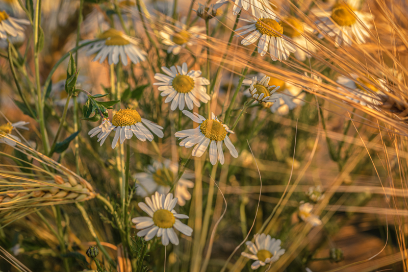 Barley and Daisies No 7