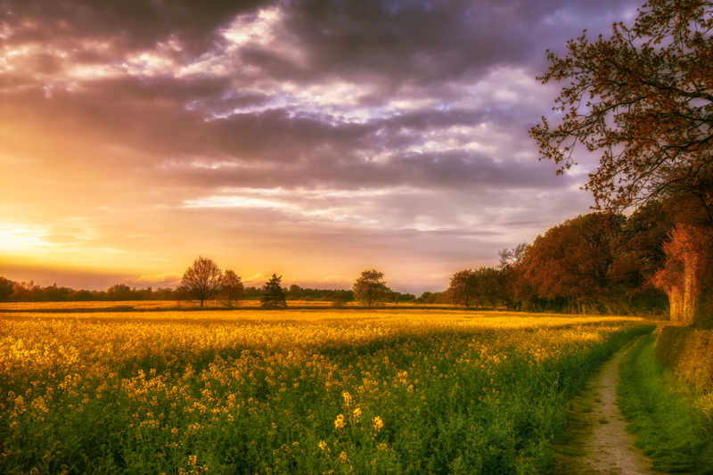 Sunset Over the Rapeseed Field No 2