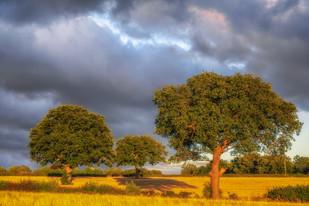 Warwickshire Barley Field 2020 No 14