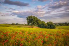 Whitemore Common Poppy Scene