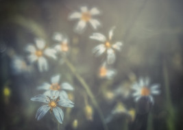 White Anemones No 2