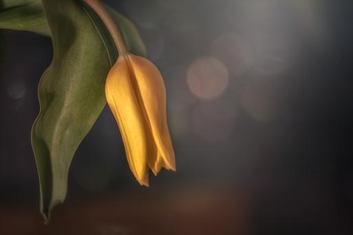 Tulips 2020 No 5
