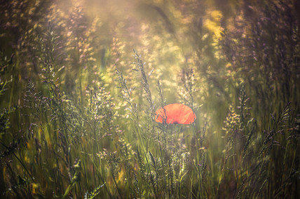 Poppy and Grass No 4