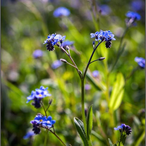 Blue Weeds