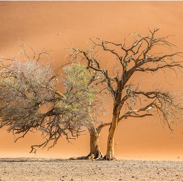 Camelthorn trees, Namib desert.