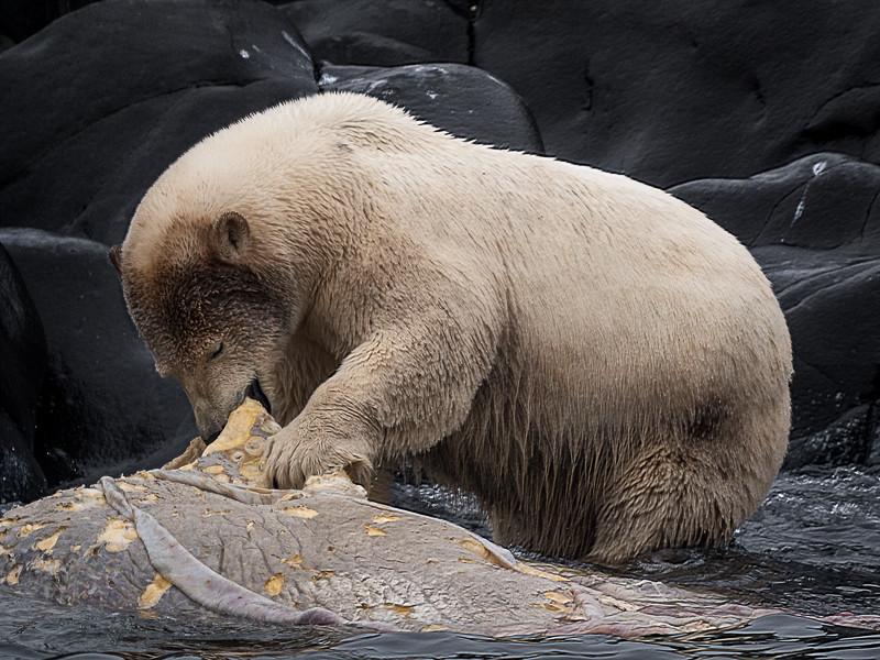 Polar Bear Eating