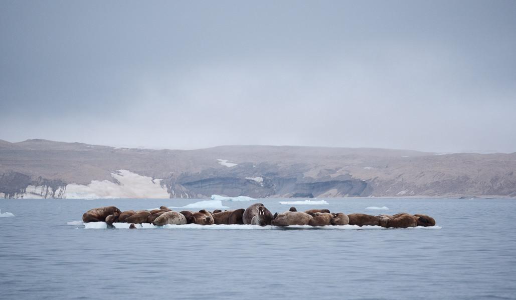 Walrus on Iceflow