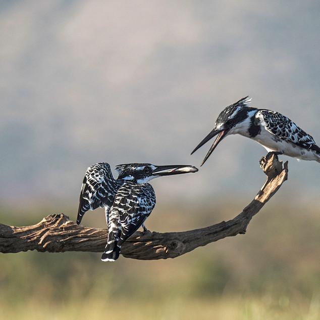 Pied Kingfishers Pair-bonding