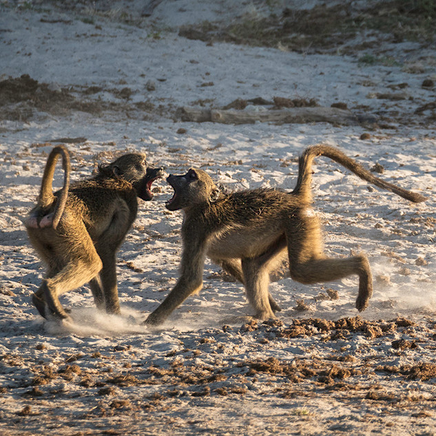 Young Baboons Fighting