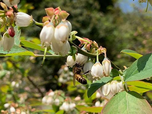 みつばちとブルーベリーの花.JPG