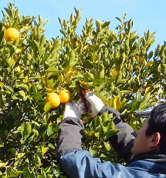 マーマレード専用栽培の完熟かぼすの収穫