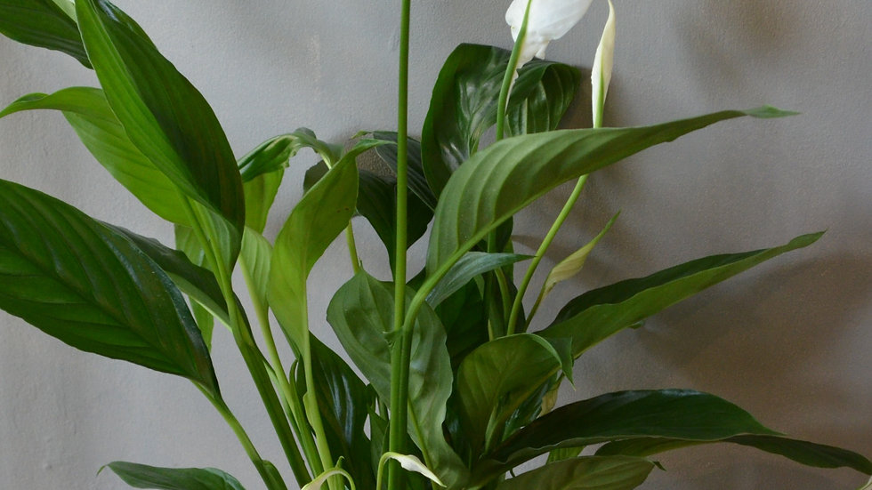 Peace Lily in Rustic Terracotta Pot