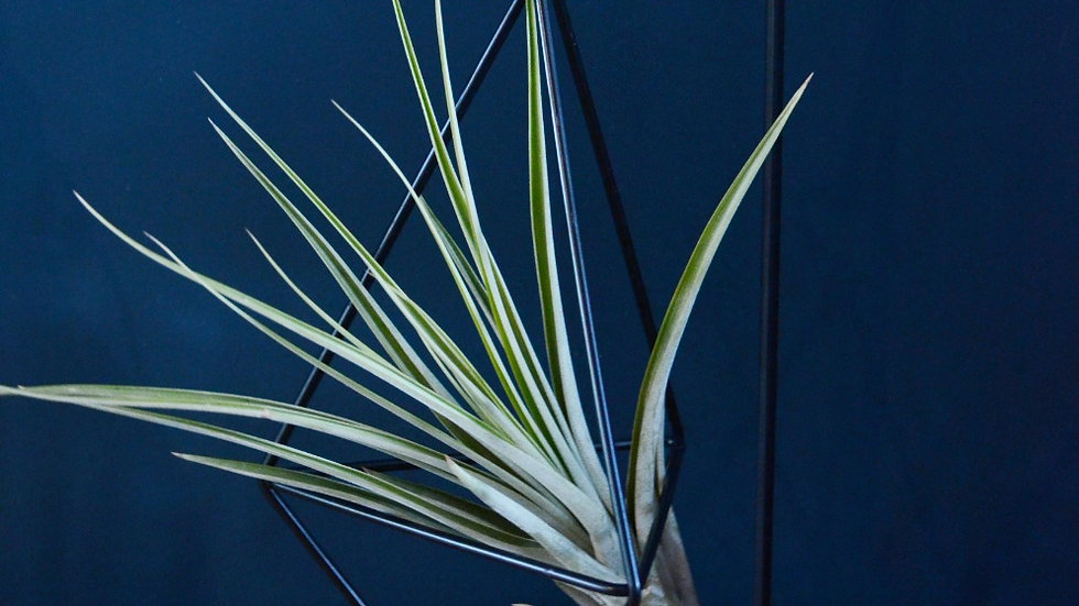 Air Plant & Stand