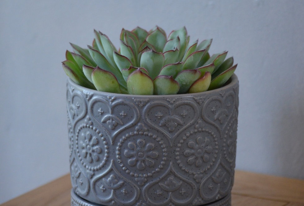 Succulent in grey patterned pot.