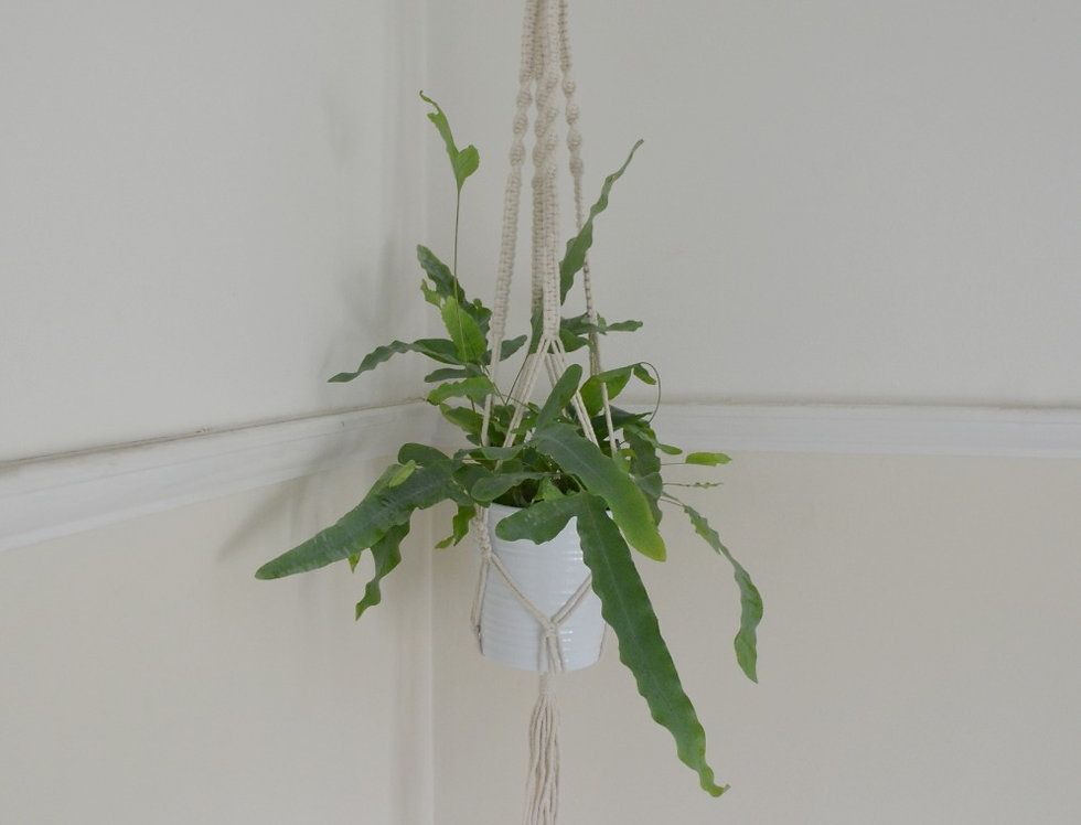 Hanging Macrame with foliage plant.