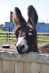 Jake the donkey.jpg
