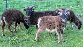 soay sheep 3.jpg