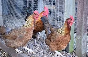 Chickens - Welsummer.jpg