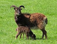 soay sheep 2.jpg