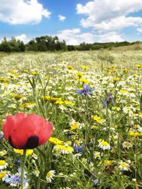 wild flower meadow aunby