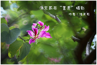 """10 論紫荊花""""畫意""""攝影"""