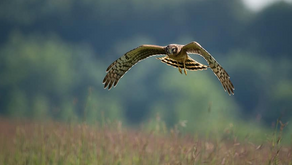 How the RSPB sabotaged plans to reintroduce the hen harrier to southern England