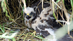 Reports emerge of nine Hen Harriers predated by a fox on RSPB's Bowland reserve