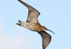 Hope for the future of the curlew, despite ridicule of  RSPB's 'selective predator control' scheme