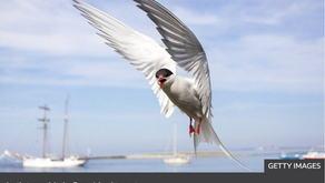Uproar as National Trust failure to manage land cause rare Arctic tern colony to desert  reserve