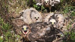 A record-breaking year for hen harrier breeding