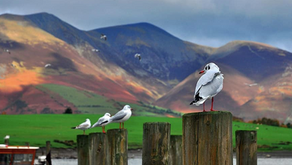 What are the RSPB doing to protect endangered birds from gulls?