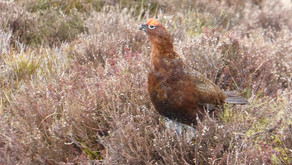 Seismic changes ahead: what Werritty means for Scottish grouse moors