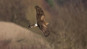 Rural groups call for zero tolerance on raptor persecution
