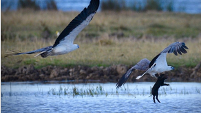 Local communities express deep concern over plans to introduce Sea Eagles in East Anglia