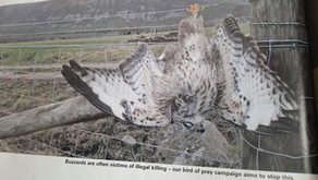 How dead birds of prey are being planted on grouse moors in an increasingly common activist trick
