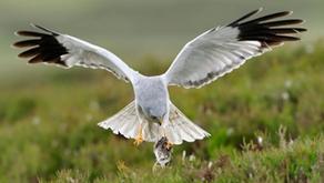 The mystery of RSPB Geltsdale's hen harriers