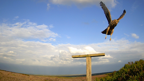 Another record breaking year for hen harriers on grouse moors expected