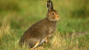 """How Chris Packham, RSPB and DWT pushed """"shameful nonsense"""" about mountain hares on grouse moors"""