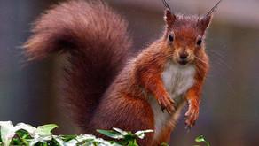 Red squirrel sightings increasing across Nidderdale