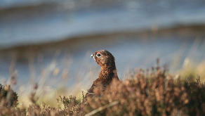 C4PMC: Grouse shooting and the Covid exemption