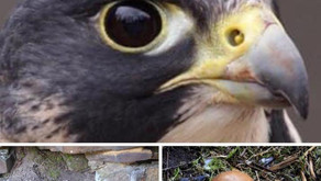 Investigation launched into Peak District peregrine falcon egg theft after gamekeepers raise alarm